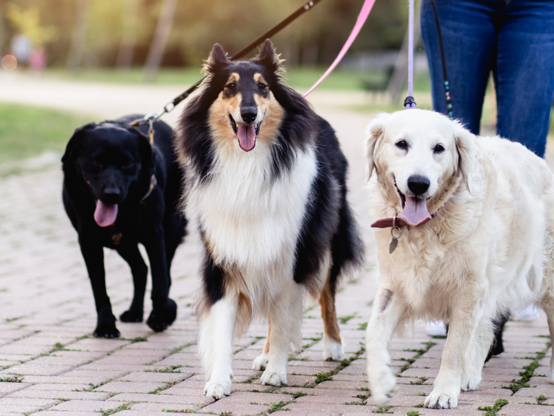 Happy dogs on group walk